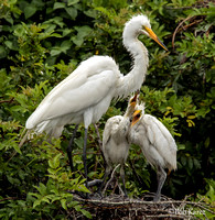 Great Egret Mom with chicks