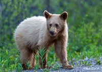 Blonde photogenic black Bear