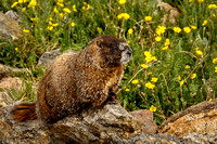 Marmot enjoying the sun