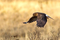 Female harrier searching for a meal