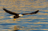 Bald Eagles Mississippi River