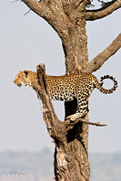 Leopard treed by a Pack of Hyenas