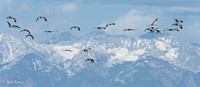 Sandhill cranes over the Sangre de Cristo's