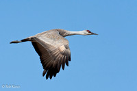 Sandhill closeup in flight