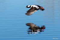 Bufflehead reflection