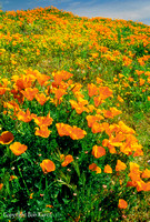 Mexican poppies Antelope Valley, CA