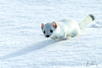 Ermine on the Hunt