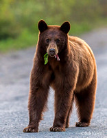 Healthy Cinnamon colored black bear