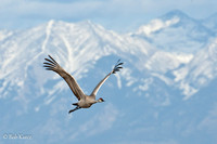Crane inflight at Monte vista, Co