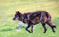 # 889 Female Black Wolf Yellowstone