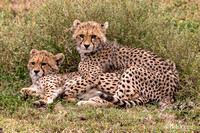 Cheetah cubs waiting for Mom