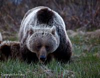 Grizzly Sow- Icefield Pkwy