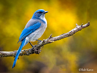 Scrub Jay with Fall background colors