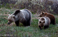 Grizzly Mom & cubs- Icefield Pkwy