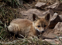 Red Fox Kits- Summit County