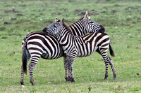 Zebra Greeting