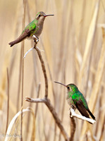 Pair of Broad-billed at rest