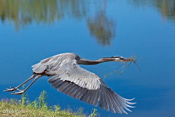 Great Blue Heron Building the nest