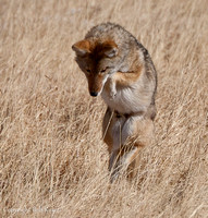 Coyote leap for food