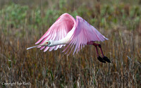 Roseate Spoonbill liftoff