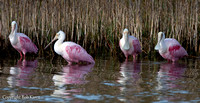 Roseate Spoonbills Hanging out