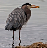 Great Blue Heron w/crab