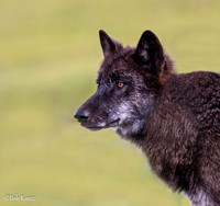 Female Black Wolf #889