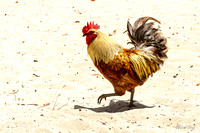 Rooster strutting his stuff!