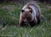 18 month old Grizzly Cubs- Icefield Pkwy