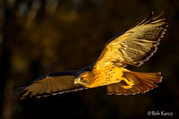 Red Tail Hawk in early golden light