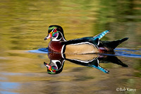Wood Duck Drake in Fall color reflection